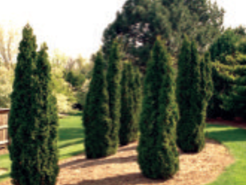 Columnar conifers such as Thuja occidentalis 'Degroot's Spire' are especially dramatic when grouped for effect
