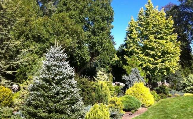Intermediate Conifers: Creating Variety in your Garden
