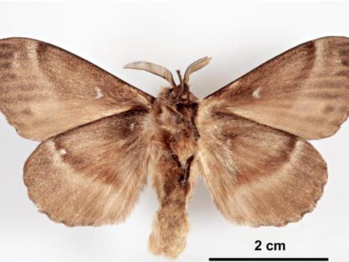An adult male Siberian silk moth (Dendrolimus sibiricus), an invasive conifer pest