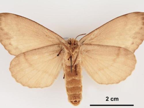 An adult female Siberian silk moth (Dendrolimus sibiricus), an invasive conifer pest