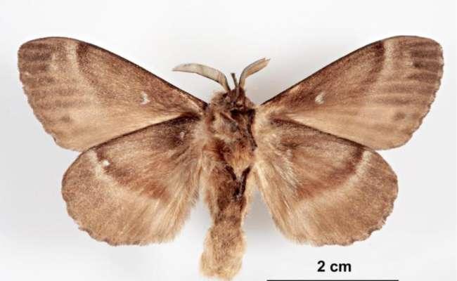 Invasive Conifer Pests: The Siberian Silk Moth
