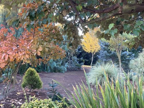 Blue conifers play off the orange and yellow fall foliage, adding drama and excitement