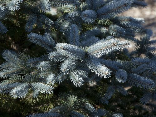 Even in the dead of winter, this dwarf blue spruce (Picea pungens 'Lucretia') is a rich, powdery blue. Photo by Janice LeCocq