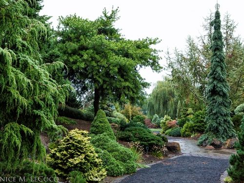 Conifers add structure to the landscape and can be planted with other woody plants or flowering perennials as in this scene in The Oregon Garden. Photo by Janice LeCocq