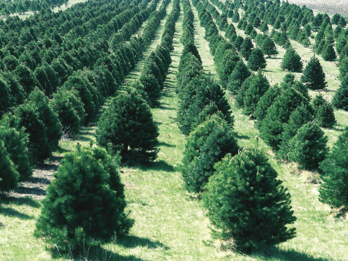 This is NOT what we would suggest, but what many people 'see' when they hear the word 'conifer'. Photo credit, Wikipedia