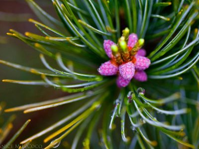 Pollen cones on PInus parviflora 'Cleary'. Photo by Janice LeCocq