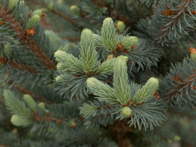 New growth on Picea pungens 'Lucretia'. Photo by Janice LeCocq