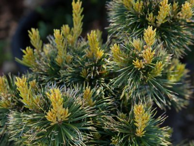 New growth on Pinus parviflora 'Tansu kazu' (goldylocks). Photo by Janice LeCocq