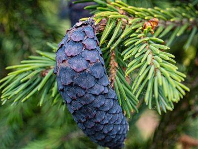 Seed cone on Picea purpurea. Photo by Janice LeCocq