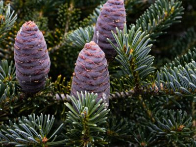 Seed cones on Abies x arnoldiana 'Poulsen'. Photo by Janice LeCocq