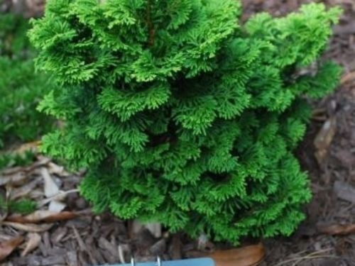 """Chamaecyparis obtusa (Appeldoorn's Unnamed Miniature)I love this little Hinoki cypress. I purchased it from Bruce Appeldoorn in 2013, and today it's all of 11"""" tall. It has never shown any signs of browning or dieback, and it gets about three and a half hours of sun per day.Pinus parviflora 'Tanima-no-yuki'Finally, don't rule out pines for your somewhat shady spots. This young, variegated Japanese white pine (planted 2014) gets its white flush every year so far with only 3 hours of full sun per day.I hope these examples will encourage you to experiment with conifers in some of the shadier spots in your garden. So long as the soil drains well, they may appreciate a break from the brutal southern sun, just as you and I do.How Much Sun Are My Plants Actually Getting?Perhaps the easiest way to determine the exposure your plants receive is to pick a sunny day, find your camera, and take a photo of the location(s) you're measuring every half hour or hour, throughout the day. Remember that the number of hours of sun each plant receives will vary throughout the year and the intensity of light will vary throughout the day, as well. Excerpt from the September 2017 Southeastern Conifer Quarterly. Gain access to archives of past newsletters and the National Conifer Quarterly by becoming a member of the American Conifer Society"""