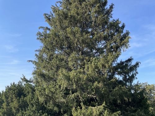 A Picea abies loaded with seed cones at the Morton Arboretum