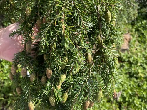 Seed cones on Tsuga canadensis 'Kelsey's Weeping' in theDwarf Conifer Garden