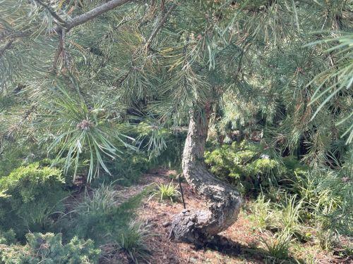 Pinus sylvestris var. hamata (syn Pinus sosnowski)