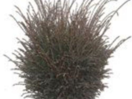 Thuja occidentalis 'Fuzz Ball'. Original plant of an unusual dwarf