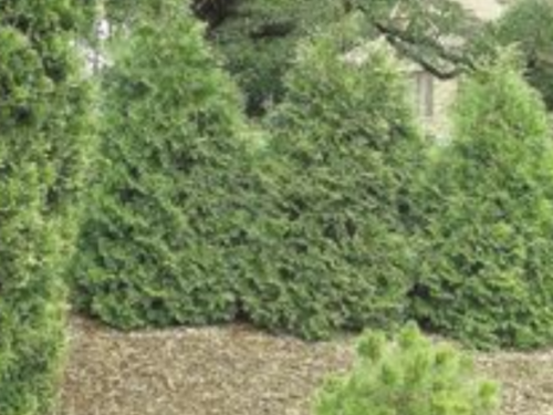 One of several stands of Thuja occidentalis 'Filiformis'