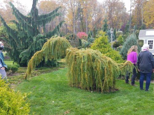 Larix decidua 'Pendula' and Cupressus nootkatensis 'Pendula' at the D'essopo garden
