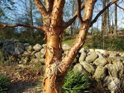 Acer griseum at the Magyar garden