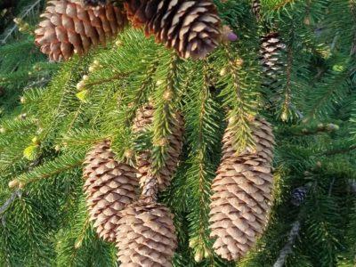 Picea abies 'Acrocona' at the Magyar garden