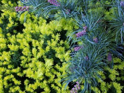 Pinus parviflora 'Gimborn's Pyramid' and Taxus cuspidata 'Aurea' at the O'Brien garden