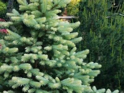 Picea pungens 'Spring Ghost' with Pinus strobus 'Diggy' at the O'Brien garden