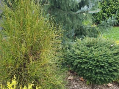 Platycladus orientalis 'Franky Boy', Picea abies (standard) and Picea omorika 'Pendula' at the D'essopo garden