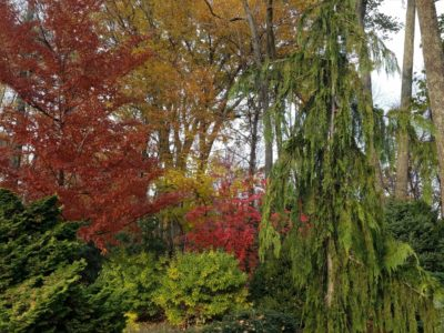 Stewartia pseudocamillia in fall color with Cupressus nootkatensis 'Green Arrow' at the Magyar garden