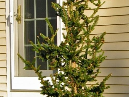 Our 2011 Living Christmas Tree, a Picea abies ´Hillside Upright´