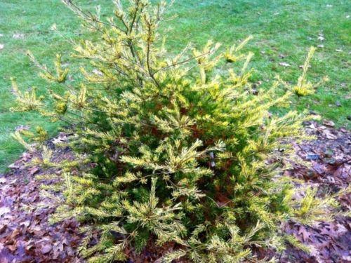 Anna's choice of a Pinus parviflora 'Ogon janome' has more Mardi Gras than Christmas.