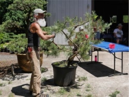 Dave DeWire works his magic on a large Pinus thunbergii (Japanese black pine)