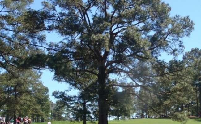 Pinus taeda 'Eisenhower'?