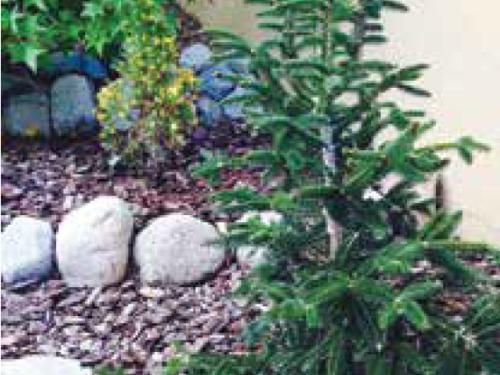 The conifer, Dwarf Greek Fir (Abies cephalonica 'Meyer's Dwarf') in the small garden