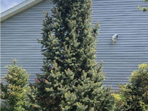 The conifer, Picea pungens 'Iseli Fastigiate' (Iseli Fastigiate Colorado blue spruce)