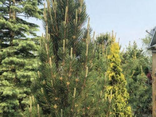 The conifer, Pinus nigra 'Arnold's Sentinel' (Arnold's Sentinel Austrian black pine)