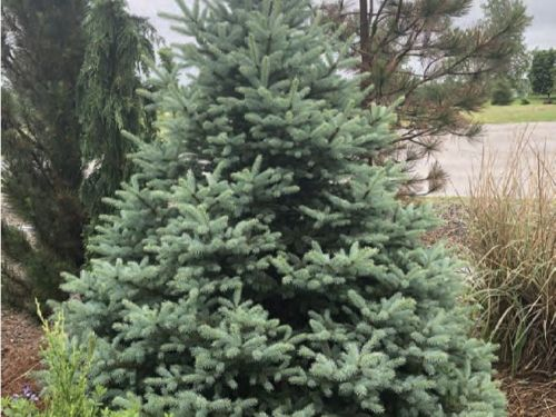 The conifer, Picea pungens (Colorado blue spruce)