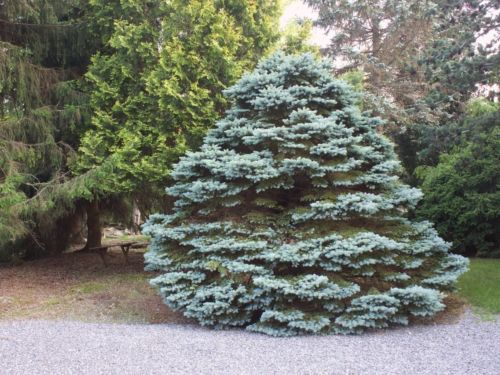 Picea pungens 'Montgomery' at Peter's Opus