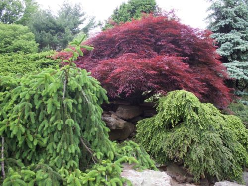 Japanese maples and conifers at Peter's Opus