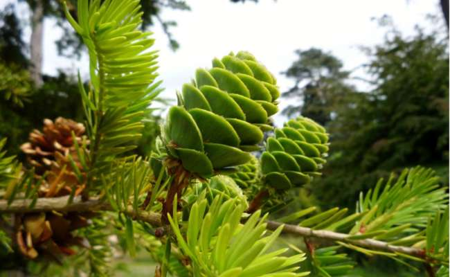 Rare Conifers and Evergreen Trees