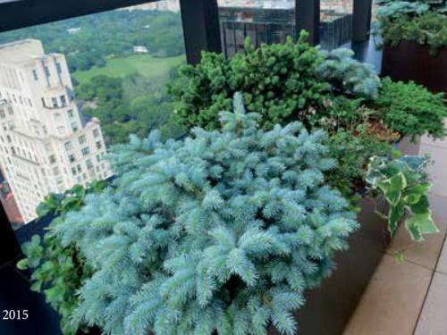 The rooftop Conifer Corner garden in 2015