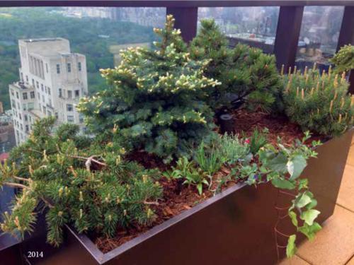 The rooftop Conifer Corner garden's progress from 2014