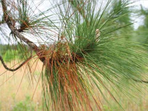 A closeup of the conifer, longleaf pine (Pinus palustris)