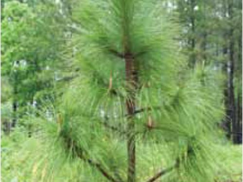 A wider shot of the conifer, longleaf pine (Pinus palustris)