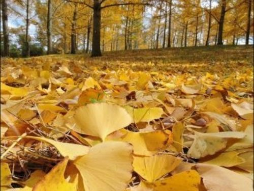 Ginkgo leaves cover—and color—the ground soon after falling.