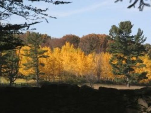 The State Arboretum of Virginia's Ginkgo grove, viewed from a distance.