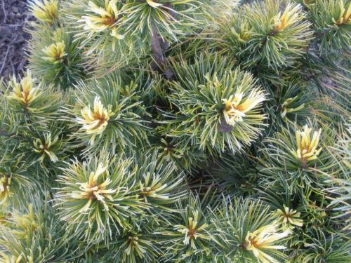 Close up of Pinus parviflora Goldylocks new spring foliage