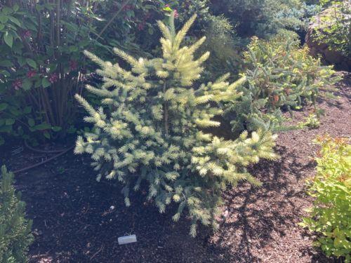 Picea pungens (Colorado spruce) 'Maigold'