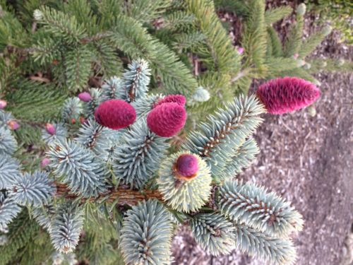 Several Picea pungens also have ruby-colored cones.