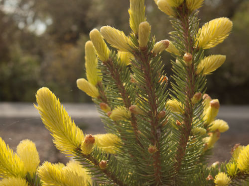 Picea pungens 'Gebelle's Golden Spring'. Photo by Janice LeCocq