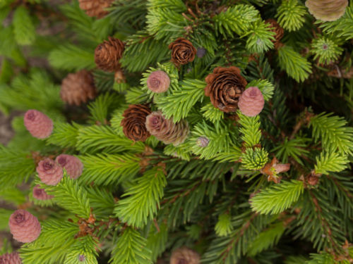 Picea abies 'Pusch', looking like a rosebush in bloom! Photo by Janice LeCocq