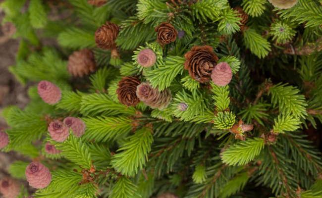 Spring Flush (Conifer Style)